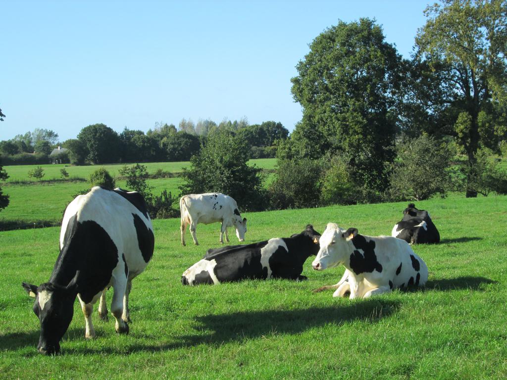 ALLASSAC - Vaches à lait